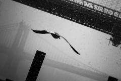 Noel_Zheng_photography_student_upenn_university_of_pennsylvania_Tony_Ward_Studio_New_York_City_travel_photography_black_and_white_snow_fall_brooklyn_bridge_architecture_hudson_river_bird_flight_seagull_urban_life_though_my_looking_glass