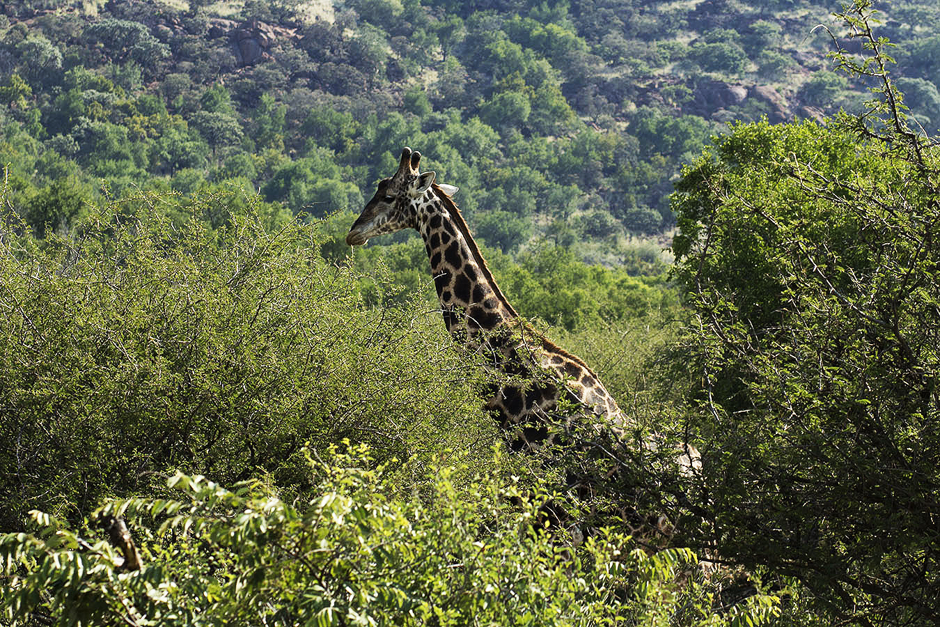 A giraffe at the Pilanesberg Game Reserve, near Johannesburg