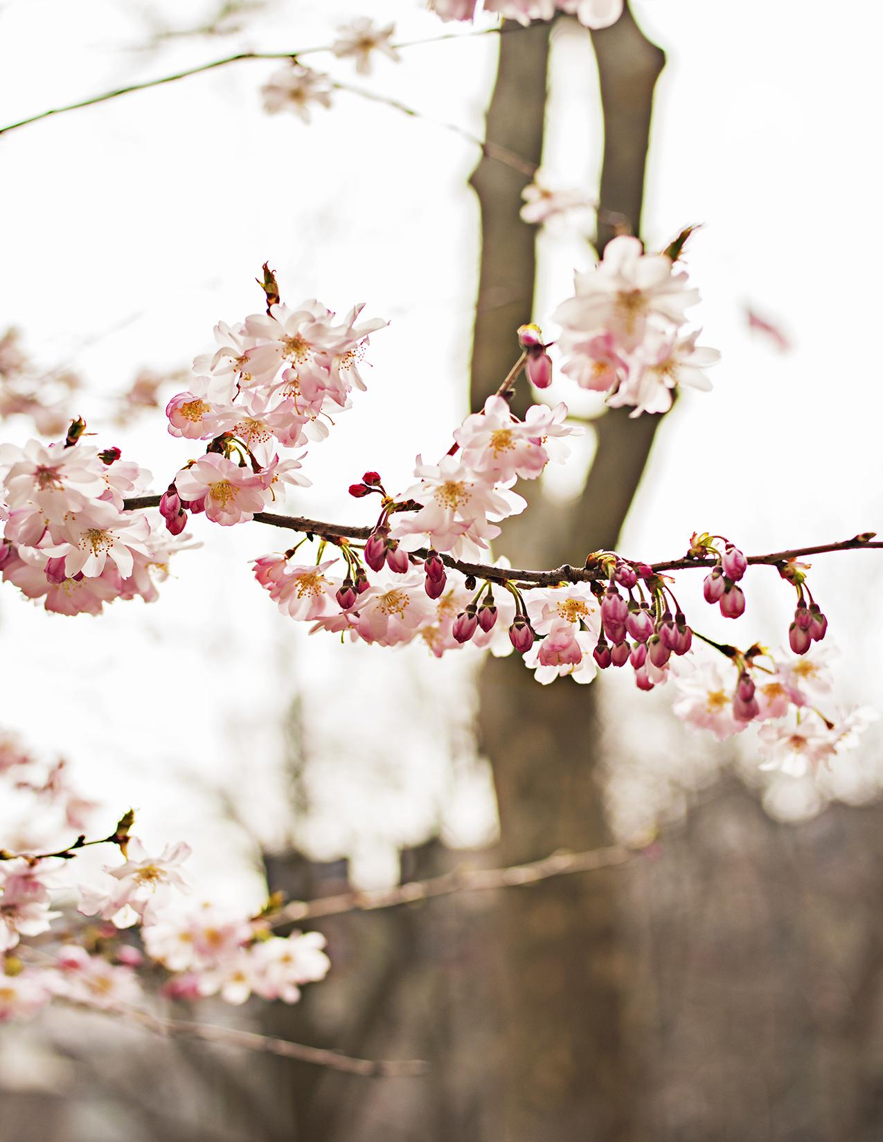 Eileen_Ko_Assignment_4_Light_Pink_Petals_Flowers_Branch