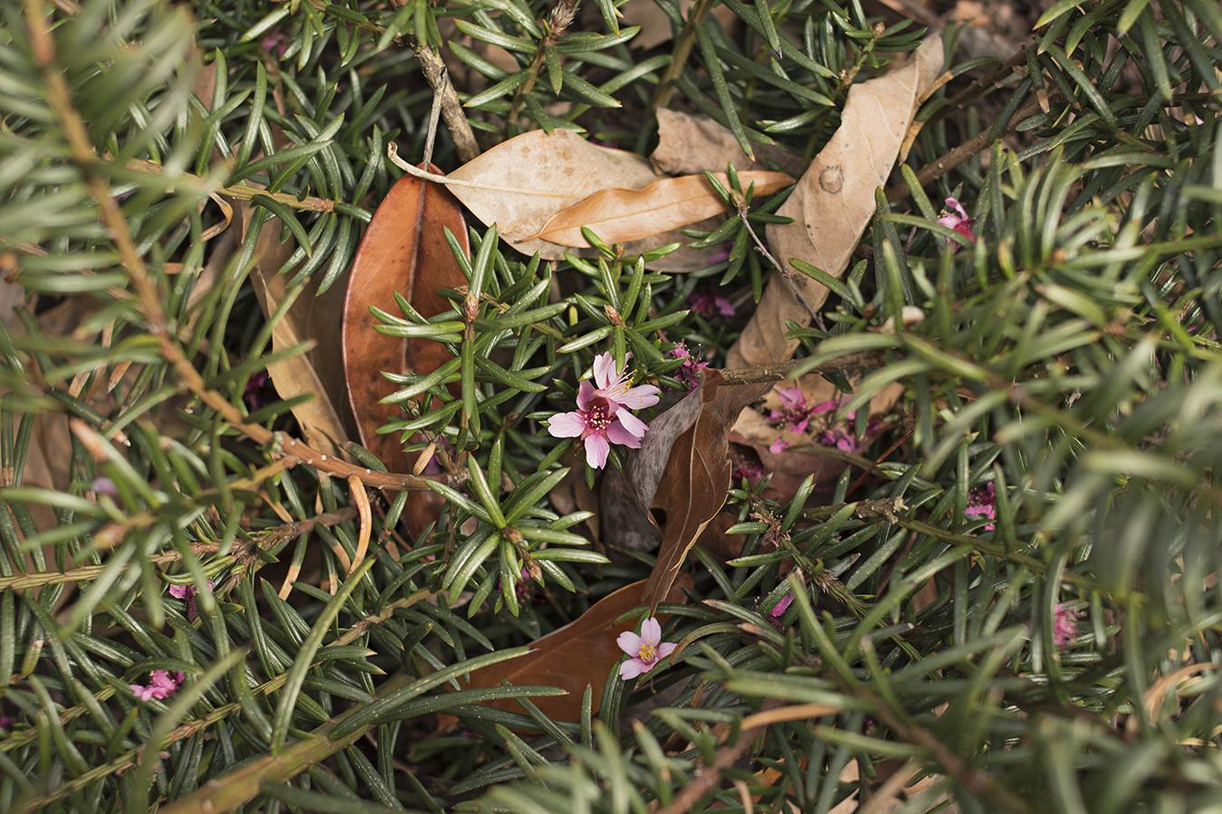 Eileen_Ko_Assignment_4_Pink_Flower_In_Bush_Brown_Leaves
