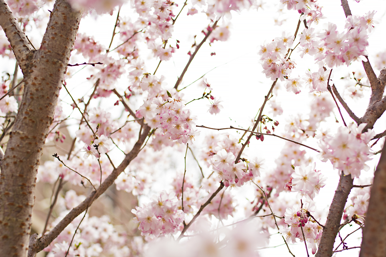 Eileen_Ko_Assignment_4_Pink_Flowers_Branches_Trees