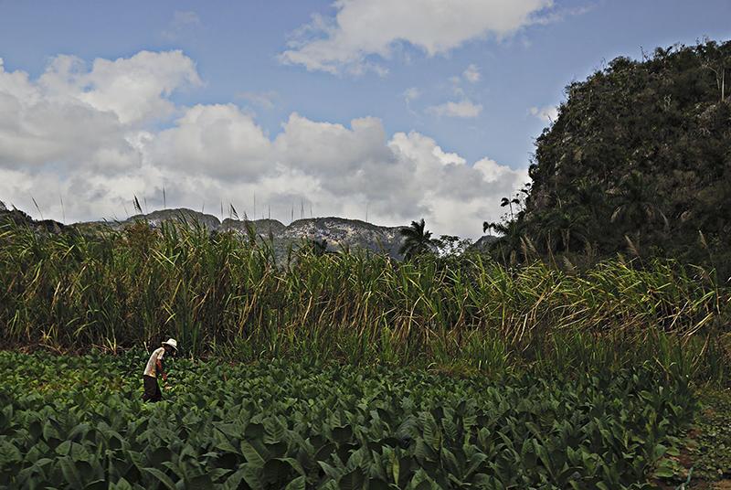 tobacco farmer cuba
